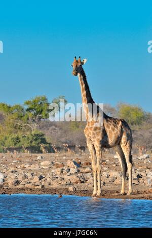Angolan giraffe (Giraffa camelopardalis angolensis), adult female standing at waterhole, herd of blacked-faced impalas - Stock Photo
