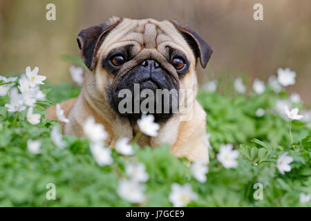 Pug lying in meadow with wood anemones, Schleswig-Holstein, Germany - Stock Photo