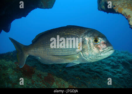 Red porgy; Pagrus pagrus. Lateral view inside cave. Portugal. - Stock Photo