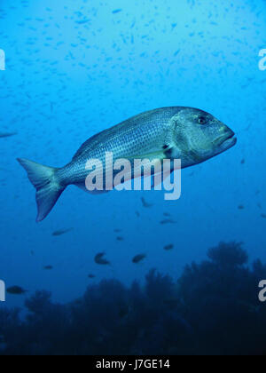 Red porgy; Pagrus pagrus. Lateral view of old animal. Mediterranean. Spain - Stock Photo