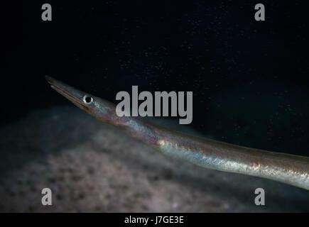 Duckbill oceanic eel, Nessorhamphus ingolfianus. Portugal - Stock Photo