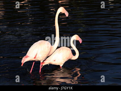 Pair of European Greater Flamingos (Phoenicopterus roseus) wading close together in a lake. - Stock Photo