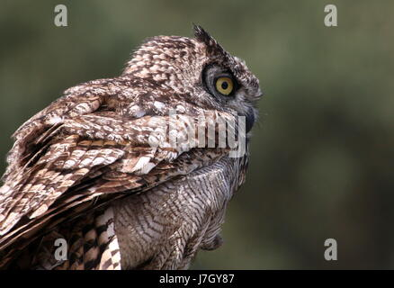 African Spotted Eagle Owl (Bubo africanus), upper body, seen in profile. - Stock Photo