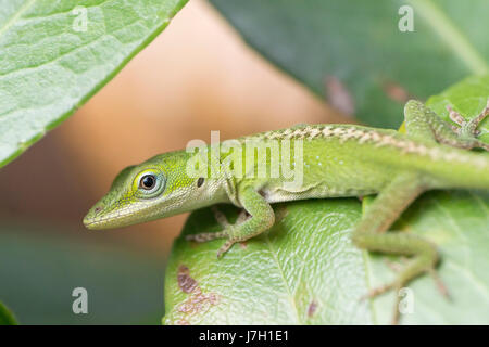 Baby carolina green anole on a leaf - Stock Photo