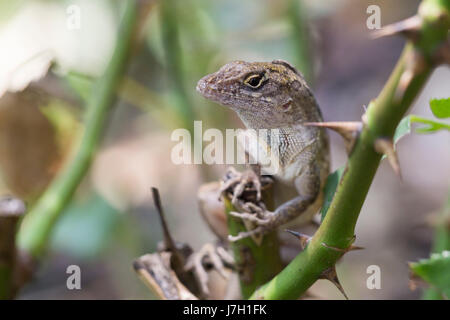 Cuban brown anole on rose bush thorns - Stock Photo