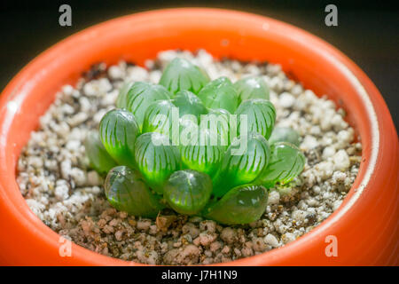 Haworthia Cooperi in a cup - Stock Photo