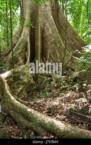 Buttress roots of large tree,  in tropical lowland evergreen rainforest, Cat Tien National Park, Vietnam, South - Stock Photo