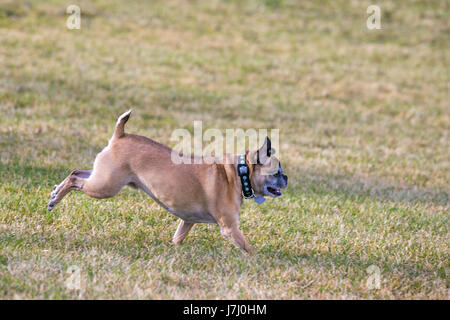 Bugg dog (cross between Boston Terrier and Pug) running free in off-leash area of city park - Stock Photo