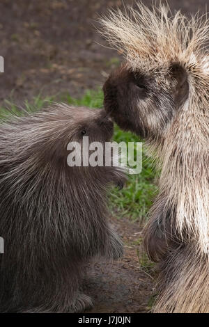 North American Porcupine mother nose to nose with with her baby (Erethizon dorsatum) - Stock Photo