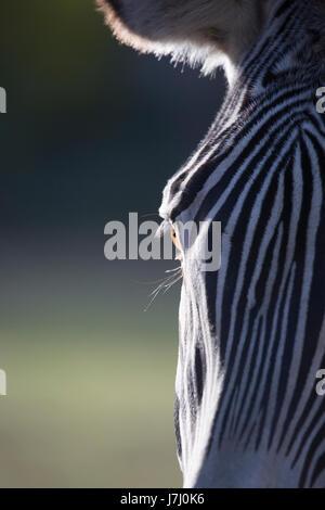 Grevy's Zebra eye (Equus grevyi) - Stock Photo