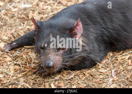 Hobart, Tasmania, Australia - December 27, 2016: Tasmanian devil Sarcophilus harrisii - Stock Photo