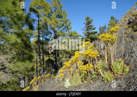 Endemic Aeonium / Tree houseleek (Aeonium simsii) flowering on mountain slope near a stand of Canary Island Pines (Pinus canariensis), Gran Canaria.