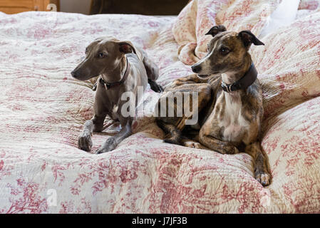 Pair of smooth-coated lurchers on a quilted toile de jouy bed cover - Stock Photo