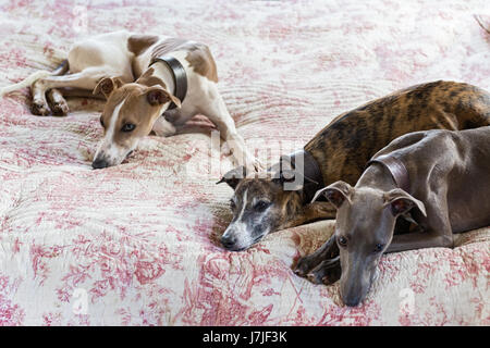 Three smooth-coated lurchers on a quilted toile de jouy bed cover - Stock Photo