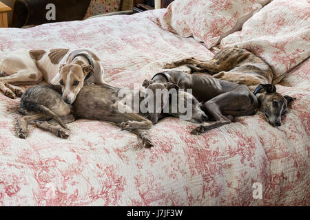 Four small lurchers on a quilted toile de jouy bed cover - Stock Photo