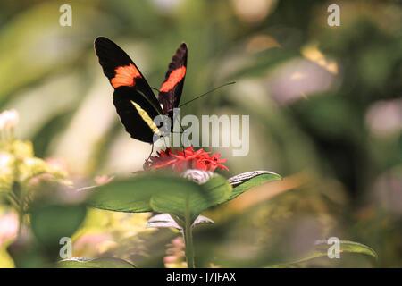 The Postman butterfly. Heliconius Melpomene Amaryllis,   Elegant, black winged, with distinctive orange and yellow - Stock Photo
