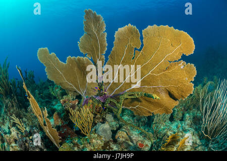 Venus Sea Fan, Gorgonia flabellum, Jardines de la Reina, Cuba - Stock Photo
