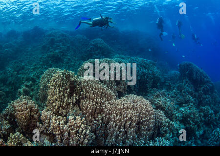 Scuba divers explore hard coral reef in the Red Sea off the coast of Egypt. - Stock Photo