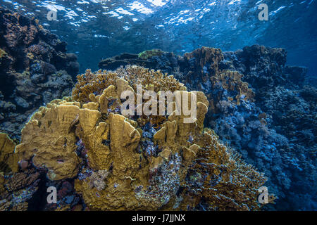 Seascape image of blade fire coral (Millepora complanata) colonies along a wall reef in the Red Sea off the coast - Stock Photo