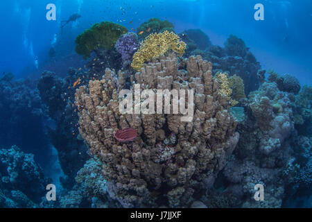 Scuba divers explore magnificent mountainous coral reefs in the Red Sea. - Stock Photo