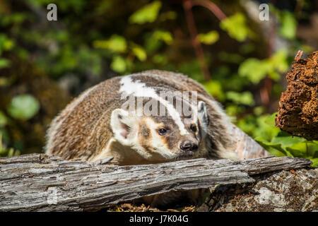 American Badger Taxidea taxus - Stock Photo