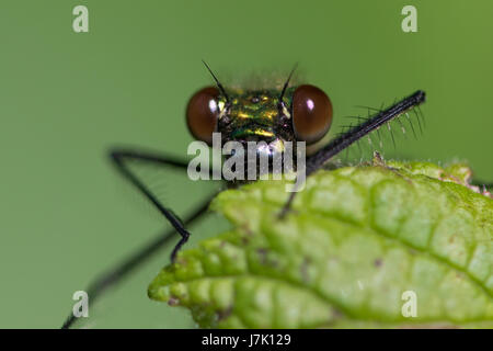 close-up of a female Banded Demoiselle (Calopteryx splendens) damselfly watching from behind a leaf - Stock Photo