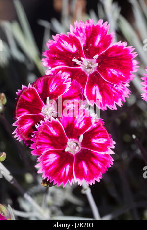 Bright red and pink flowers of the compact garden pink, Dianthus 'Supernova', a long flowering, fragrant variety - Stock Photo
