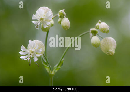Bladder campion (Silene vulgaris) in flower. A delicate flower in the family Caryophyllaceae, with calyx inflated - Stock Photo