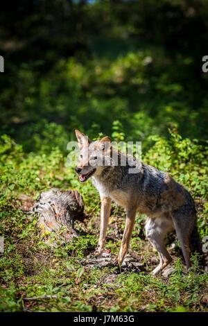 Canis latrans - Stock Photo