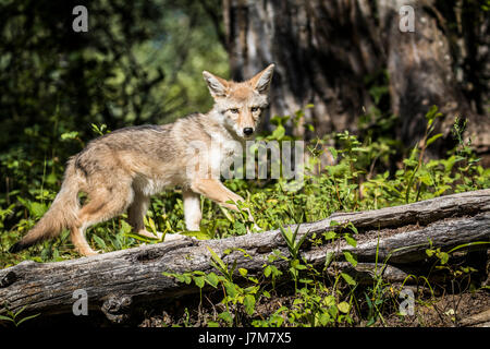 Coyote Coyote pup carnivore montana Canis latrans profile hunt - Stock Photo