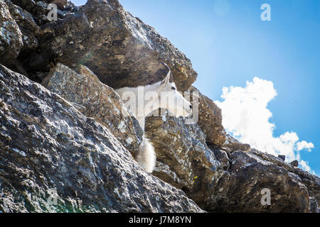 Rocky Mountain goat / Oreamnos americanus / Adult / kid - Stock Photo