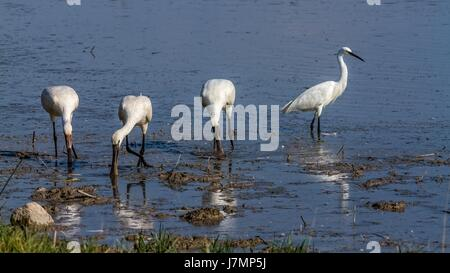Group of spoonbill birds and little egret looking for food - Stock Photo