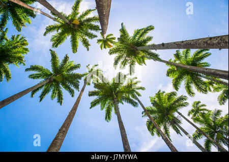 Tall royal palm trees line up against bright blue tropical sky in Rio de Janeiro, Brazil - Stock Photo