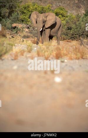 namibia walk go going walking colour desert wasteland mammal bed wild africa - Stock Photo