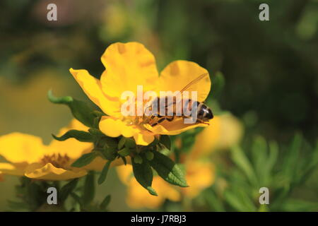 insect bee beautiful beauteously nice macro close-up macro admission close up - Stock Photo