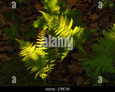 Ferns in dappled sunlight at Kejimkujik National Park. - Stock Photo