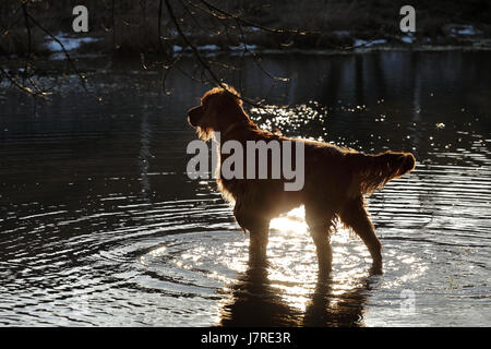 The  setter dog is playing in the water - Stock Photo