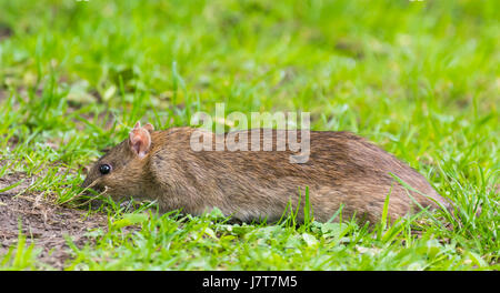 Rat in the grass outside looking for food. - Stock Photo