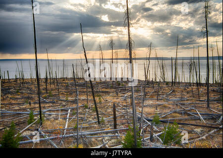 Dead trees in Yellowstone National Park from pine bore beetles - Stock Photo