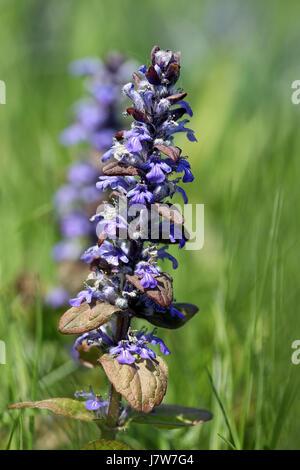 bugle [ajuga] - Stock Photo