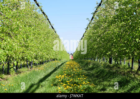 Blooming apple orchard in early springtime - Stock Photo