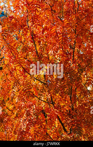 Autumn rowanberry tree with red leaves - Stock Photo