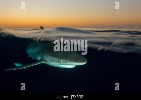 Silky Shark, Carcharhinus falciformis, Jardines de la Reina, Cuba - Stock Photo