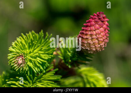 Bright pink cones of a Norway Spruce tree near the Stanley Park Pavilion in Vancouver, BC - Stock Photo