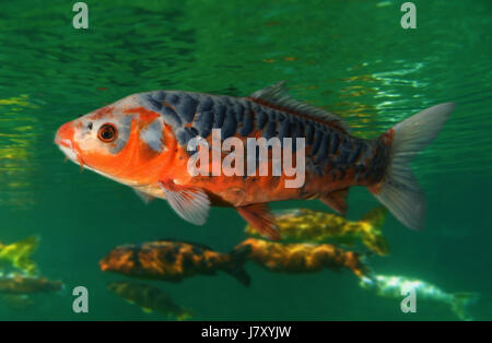 Koi fish domesticated variety of the common carp cyprinus for Ornamental fish garden ponds