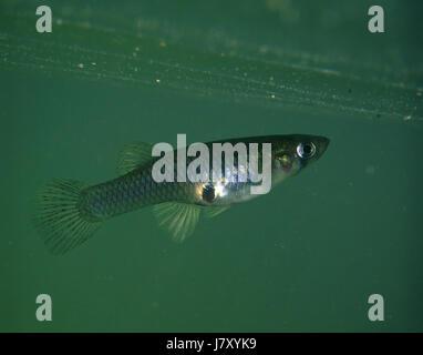Eastern mosquitofish, Gambusia holbrooki, female. Portugal - Stock Photo