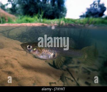 Eastern mosquitofish, Gambusia holbrooki, female. On river environment.  Portugal - Stock Photo