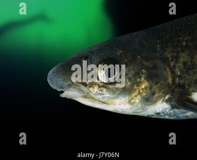Northern straight-mouth nase, Pseudochondrostoma duriense, head detail. Spawning male with characteristic nuptial - Stock Photo