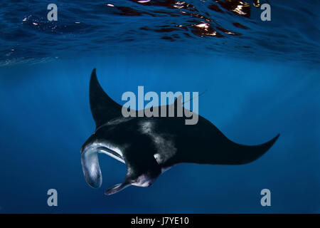 Manta birostris, Giant manta. Composite image. Azores. Portugal. - Stock Photo