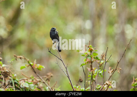 Image of bird black on nature background. Pied Bushchat ( Saxicola caprata ) - Stock Photo